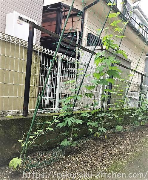 ゴーヤ家庭菜園