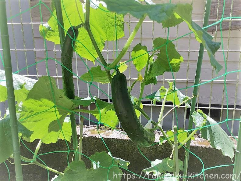 キュウリ 家庭菜園